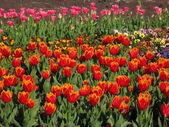 Vibrant tulips.... — Stock Photo