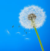 Dandelion on a blue background — Stock Photo