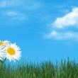 Natural grass and camomiles against the sky — Stock Photo