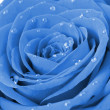 Blue rose with water drops - Foto de Stock
