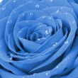 Blue rose with water drops - Stock Photo
