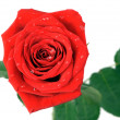 Red rose with water drops the top view — Stock Photo #8534700