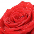 Red rose with water drops it is isolated on a white background — Stock Photo #8534710