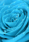Blue rose with water drops — Stock Photo