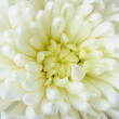White chrysanthemum — Stock Photo #9543233