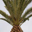 Canary Islands Date Palm, Phoenix canariensis — Stock Photo