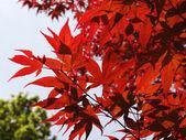 Acer palmatum, Smooth Japanese Maple — Stock Photo