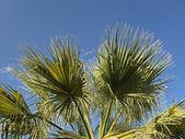 Chamaerops humilis, europeu palma de ventilador — Foto Stock
