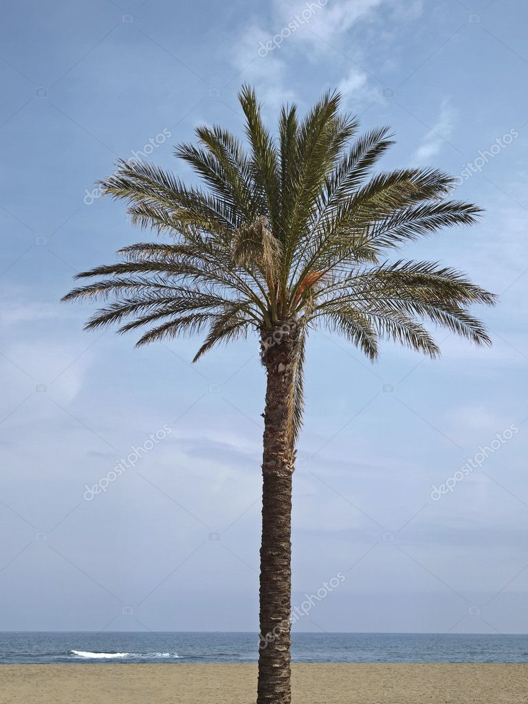 Date palm, Phoenix canariensis, Canary Islands Date Palm near San Priamo, Sardinia, Italy, Europe — Stock Photo #10041874