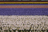 Flower field with garden hyacinths, Netherlands — Stock Photo