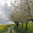 Footpath with rape field and cherry trees in Hagen, Lower Saxony, Germany — Foto de Stock