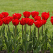 Red Tulips in spring - Lizenzfreies Foto