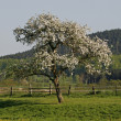 Apple tree in spring, Georgsmarienhuette, Lower Saxony, Germany - Lizenzfreies Foto