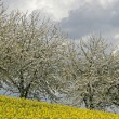 Stock Photo: Cherry trees with rape field, Lower Saxony, Germany, Europe