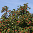 Stock Photo: Apple tree with ripe fruit (Malus), Germany, Europe