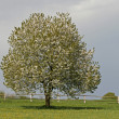 Cherry tree in spring, Lower Saxony, Germany, Europe — Stock Photo