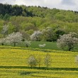 Rape fields with cherry trees in spring, Hagen, Lower Saxony, Germany — Stock Photo