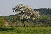 Apple tree in spring, Georgsmarienhuette, Lower Saxony, Germany — Stock Photo