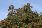 Apple tree with ripe fruit (Malus), Germany, Europe — Stock Photo