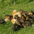 Stock Photo: Duckling, Anas platyrhynchos - Mallard