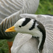 Bar-headed Goose, Gooses, Anser indicus, also name Indian Goose - Stock Photo