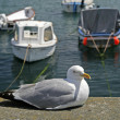 Larus argentatus, Herring Gull, Cornwall, England, UK - Stock Photo