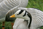 Bar-headed Goose, Gooses, Anser indicus, also name Indian Goose — Stock Photo