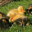 Ducklings in a meadow in Germany, Europe (Anas platyrhynchos) - Mallard — Stock Photo