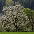Cherry tree in spring, Eppendorf, Lower Saxony, Germany, Europe - Stock Photo