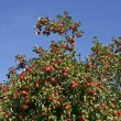 Apple tree with ripe fruit (Malus) in Germany, Europe — Stock Photo