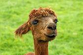 Lama pacos), Pako, Alpaca (Vigugna pacos) — Stock Photo