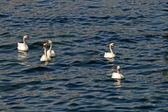 Mute swans family, Cygnus olor in England — Stock Photo