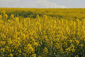 Rape field in spring, Lower Saxony, Germany, Europe — Stock Photo