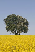 Horse Chestnut (Aesculus hippocastanum) with rape field in Bad Iburg in May — Stock Photo