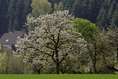Cherry tree in spring, Eppendorf, Lower Saxony, Germany, Europe — Stock Photo