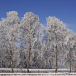 Birches on a field in winter, Lower Saxony, Germany — Stok fotoğraf