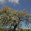 Apple tree in spring, Lower Saxony, Gemany — Stock Photo #8097677