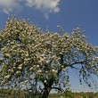 Stock Photo: Apple tree in spring, Lower Saxony, Gemany