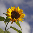 Sunflower, Helianthus annuus before clouds in summer - Lizenzfreies Foto