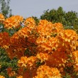 Rhododendron, Orange Azalea in spring — Stock Photo