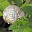 Edible snail, Roman snail, Burgundy Snail (Helix pomatia) on a leaf — Stock Photo #8099950