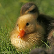 Duckling of a mallard on a meadow in spring in Germany - Anas platyrhynchos — Stock Photo