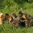 Ducklings, Anas platyrhynchos - Mallard with yellow domestic duck — Stock Photo