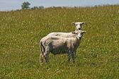 Two sheeps in Bodmin Moor, Colliford Lake, Cornwall, Southwest England, UK, — Stockfoto