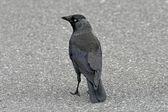 Corvus monedula, jackdraw op een straat in engeland, europa — Stockfoto