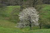 Kirschbaum im Frühling, Hagen, senken, Sachsen, Deutschland, Europa — Stockfoto