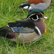 Wood duck or Carolina duck (Aix sponsa) — Stock Photo