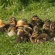 Duckling, Anas platyrhynchos - Mallard — Stock Photo