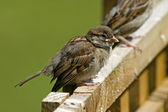Passer domesticus, House Sparrow — Stock Photo