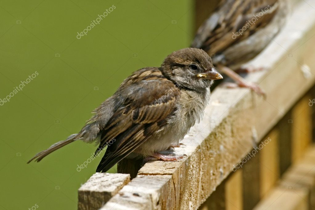 Passer domesticus, House Sparrow - Haussperling — Stock Photo #8627034